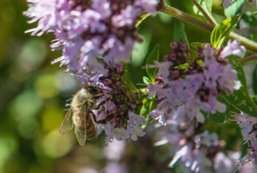 Eine weitere Biene labt sich am Oregano (Foto: Martin Dühning)
