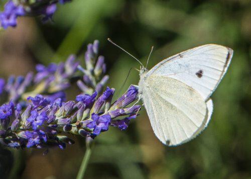Ein Kohlweißling nascht am Lavendel (Foto: Martin Dühning)