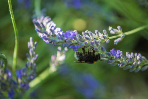 Eine eilige Mauerbiene erntet Lavendelnektar (Foto: Martin Dühning)