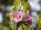 Hibiskusblüten am Abend des 30. Juli 2020 (Foto: Martin Dühning)