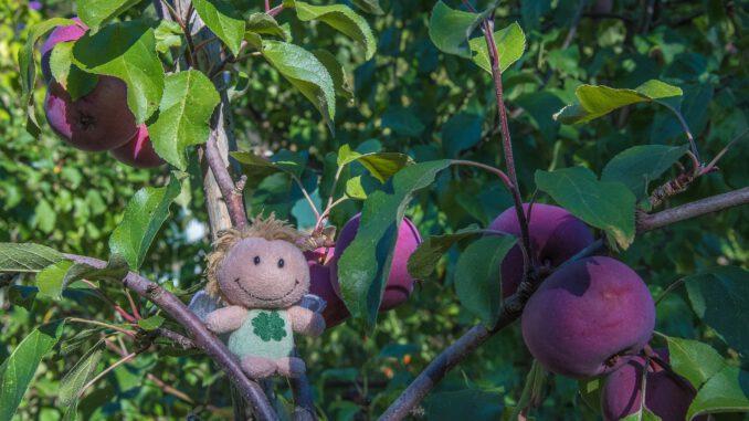 Zwergfee im Apfelbaum (Foto: Martin Dühning)