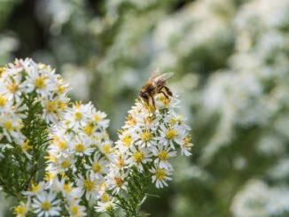 Die Honigbienchen freuen sich über ein herbstliches Blütenmeer im Oktober 2020 (Foto: Martin Dühning)