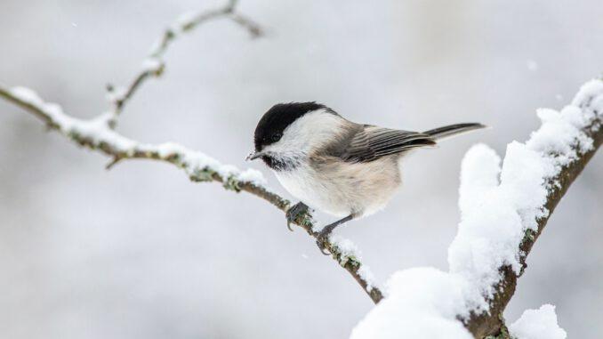 Ein Vögelchen im Winter (Foto: Erik Karits via Pexels)